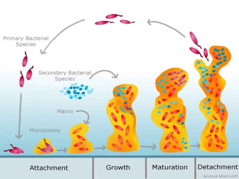 What is a 'biofilm' and how can it affect my health?